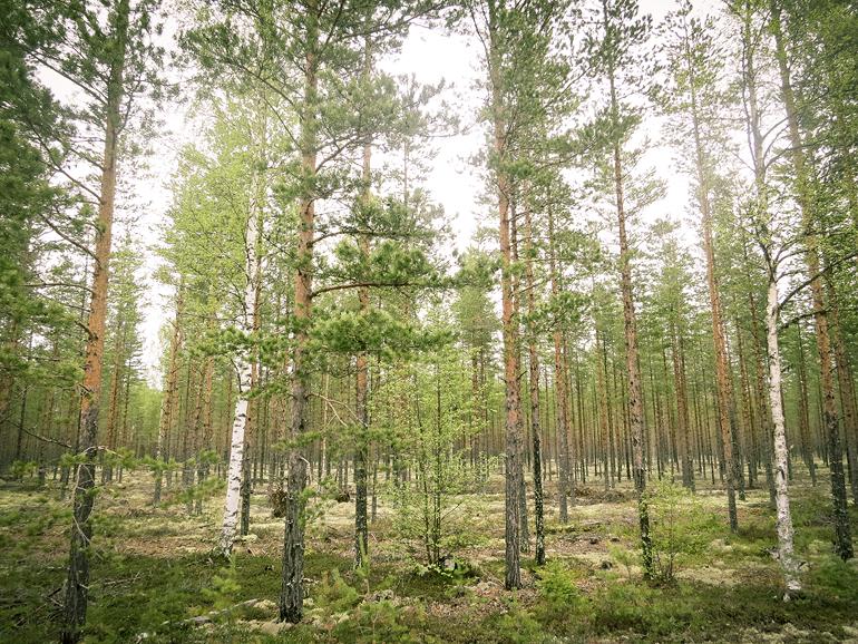 hälsingland färila skog