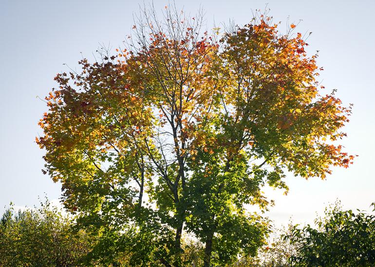 Hälsingland 10 höstträd