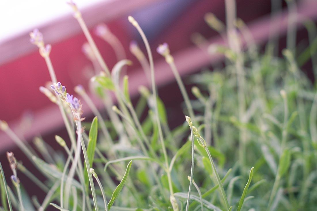IMG_5739 åre lavendel
