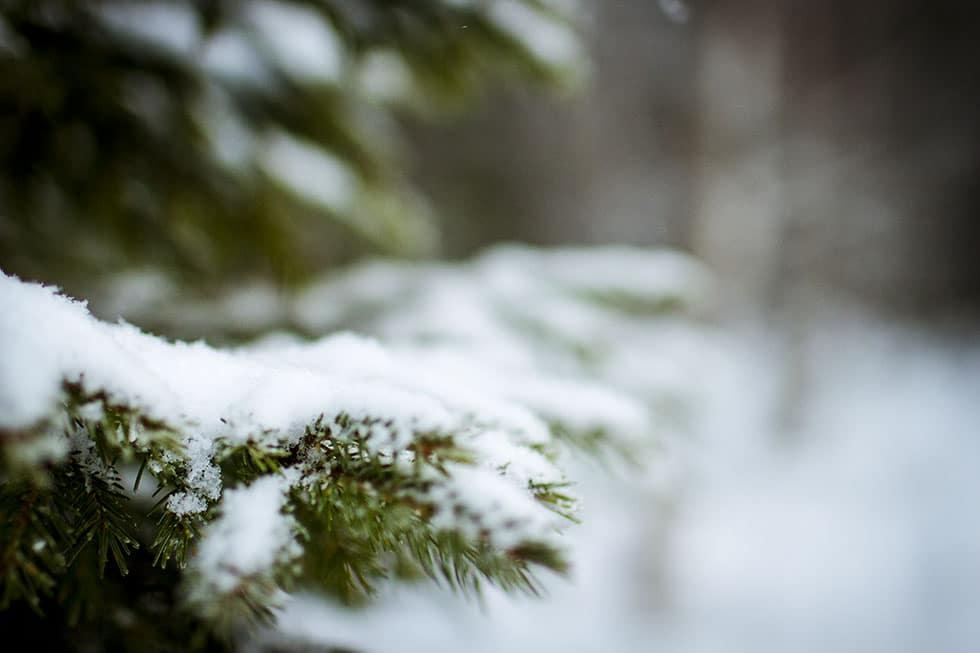 snötyngd gran