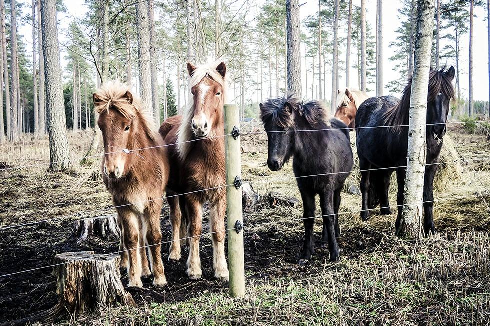snäcksjöns islandshästar östhammar IMG_4892