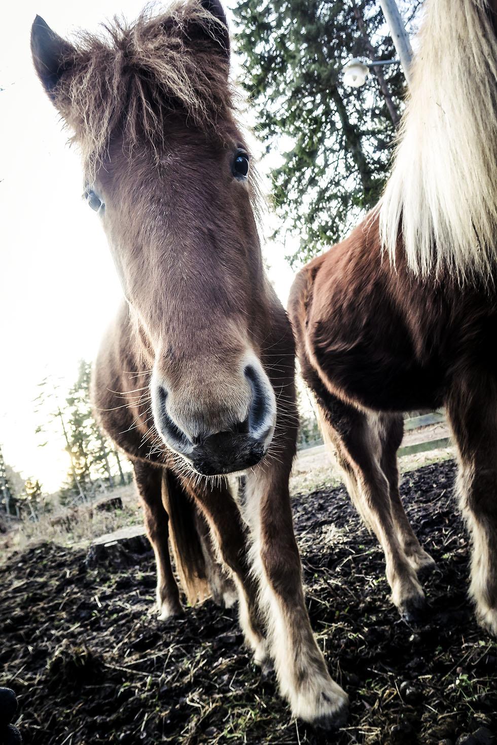 snäcksjöns islandshästar östhammar IMG_4910