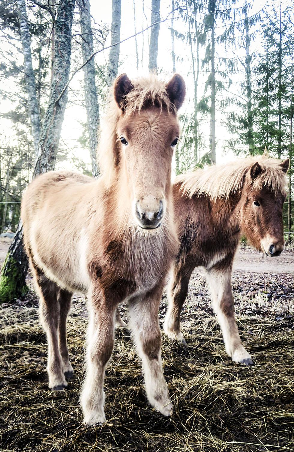 snäcksjöns islandshästar östhammar IMG_4913