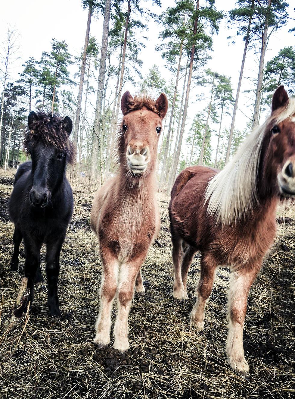 snäcksjöns islandshästar östhammar IMG_4921