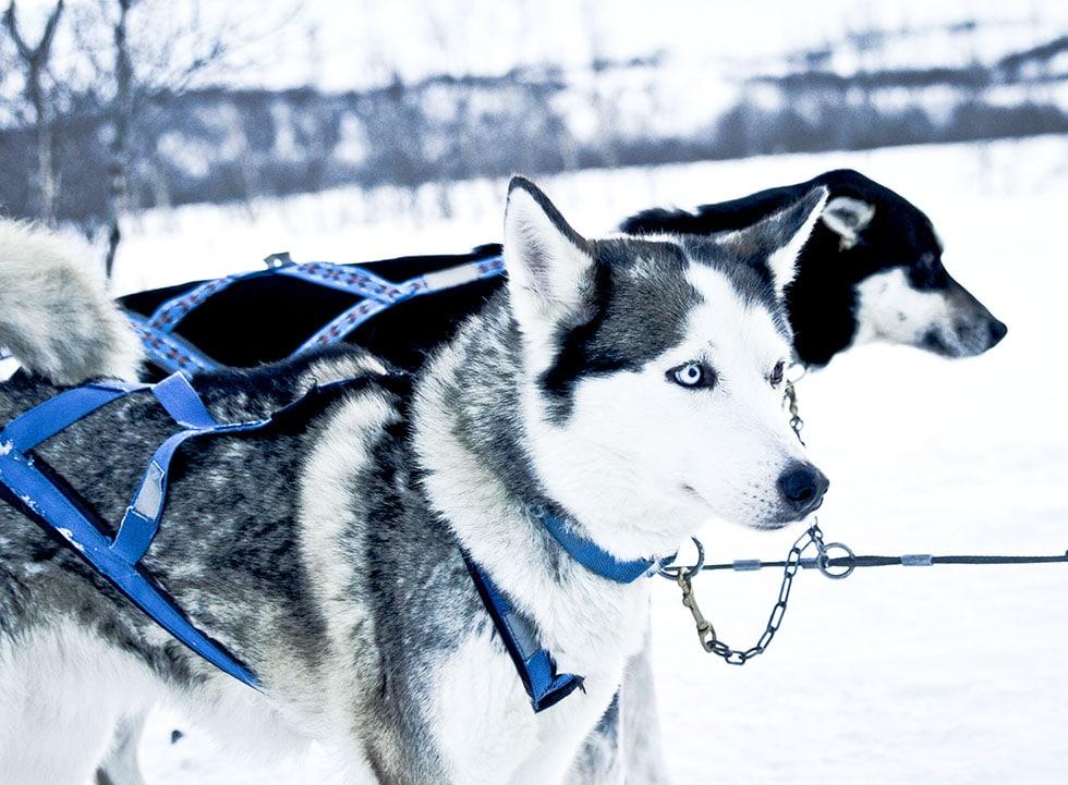 abisko hundspann IMG_2793