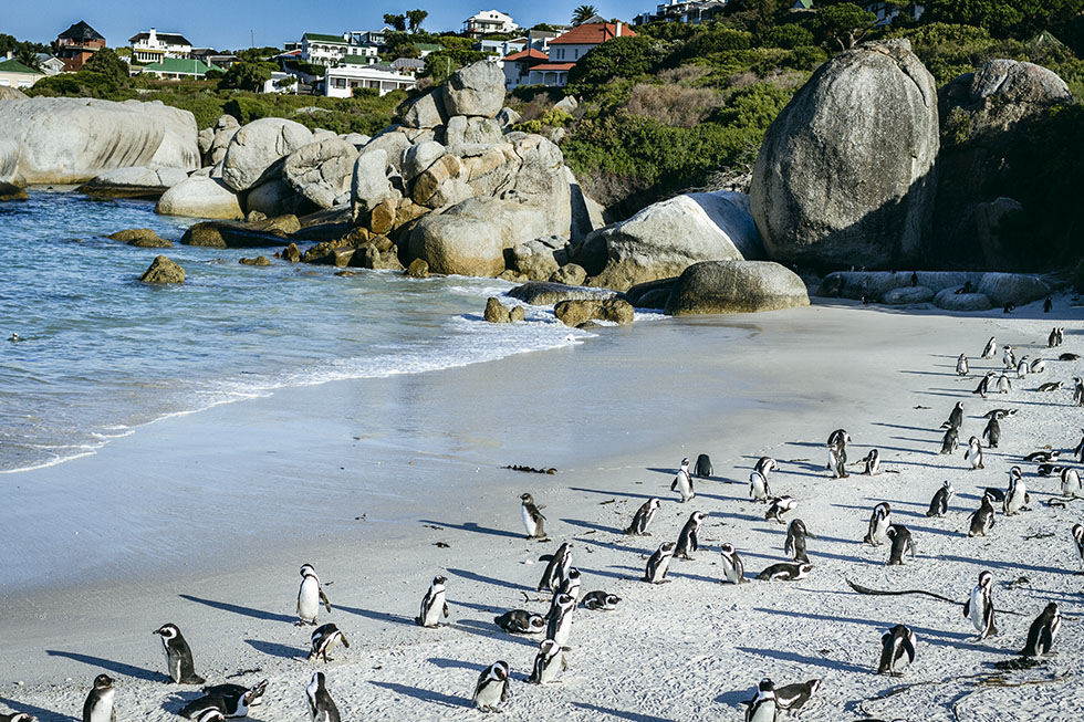 Cape town penguins Boulder's beach