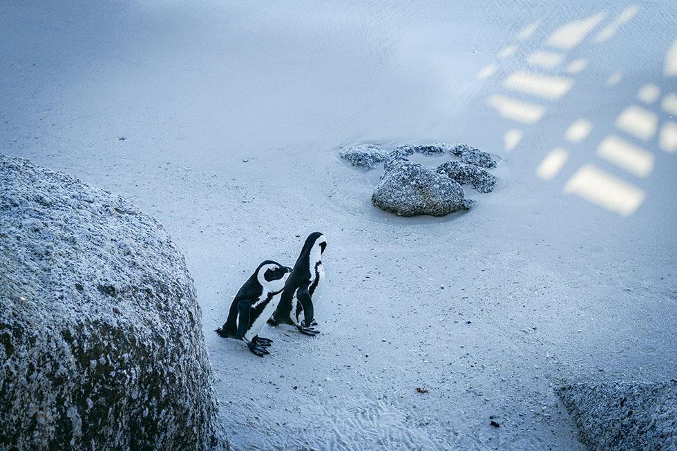 Cape town penguins Boulder's beach
